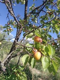 B129-abricot (2)