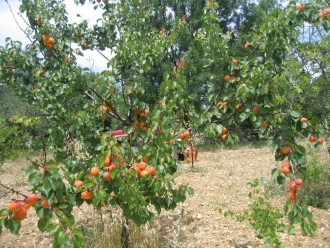 B129-abricot (16)