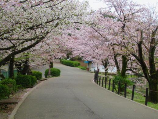 202  桜のトンネル(1)