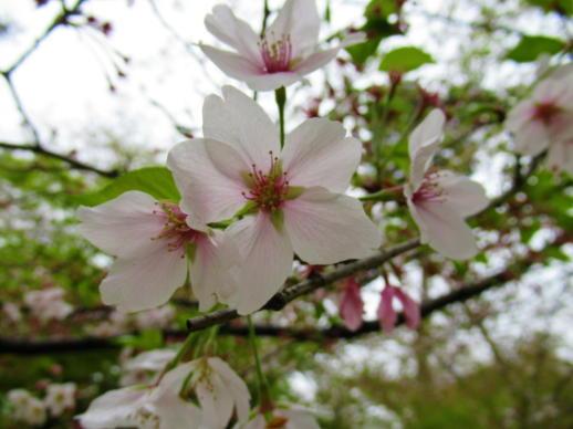 202  桜の花(1)