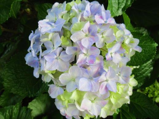 202  紫陽花(1)