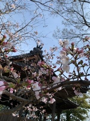 桜 2020年