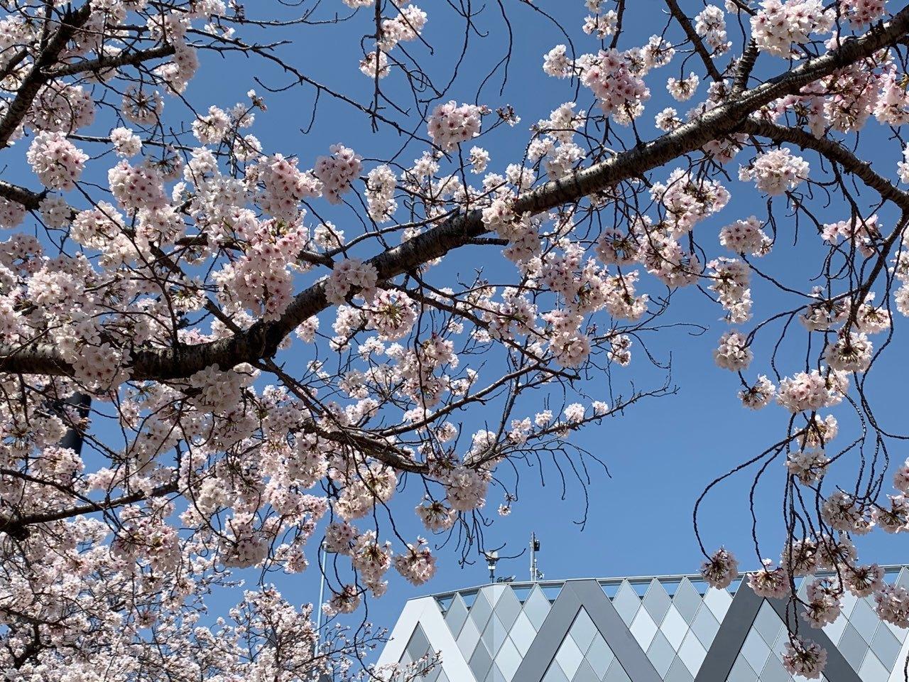 ラグビー場桜