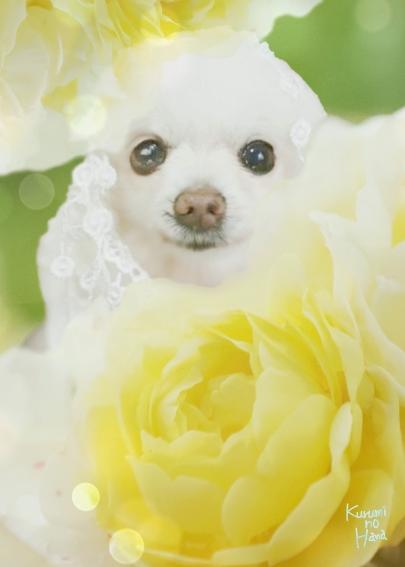 黄色お花の妖精さん瑠妃