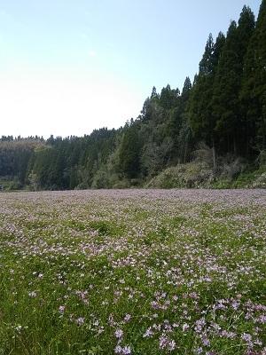 レンゲ畑2020