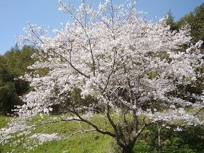 桜20210323