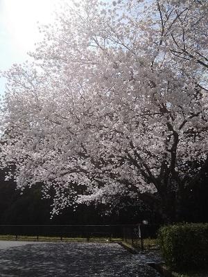 桜20210324