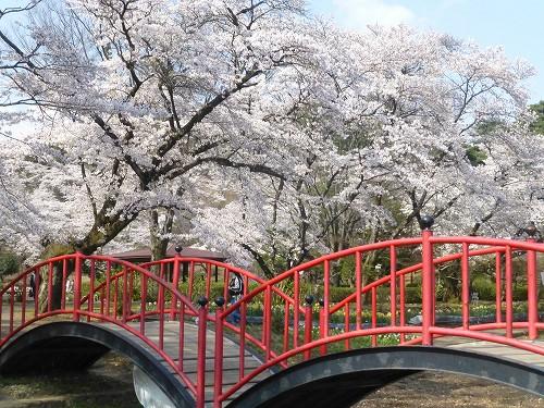 20200405 桜