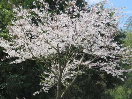 桜満開 2