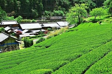 3N5A8894 新茶畑-1