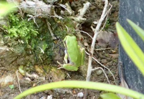 アマガエルの幼体