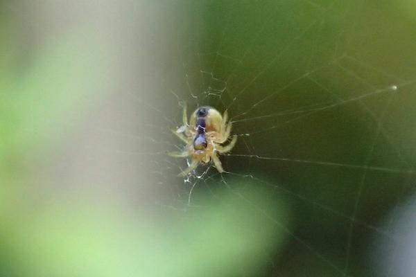 極小のクモ