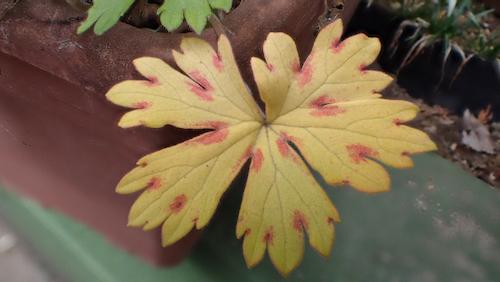 ゲンノショウコ 紅葉