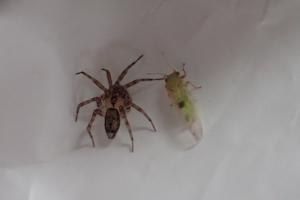 クモとトベラキジラミ
