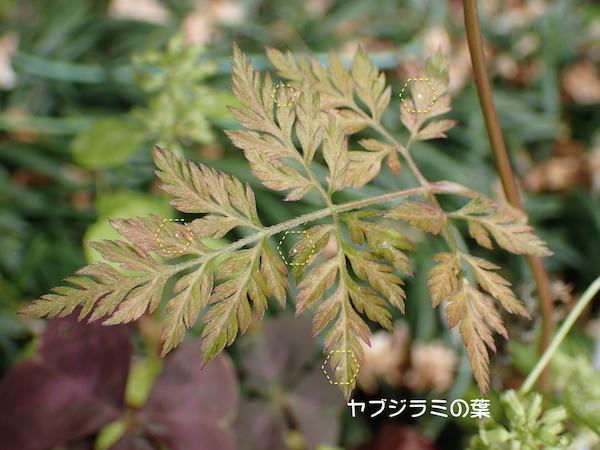 ヤブジラミの葉