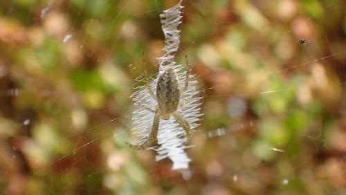ナガコガネグモの幼体?