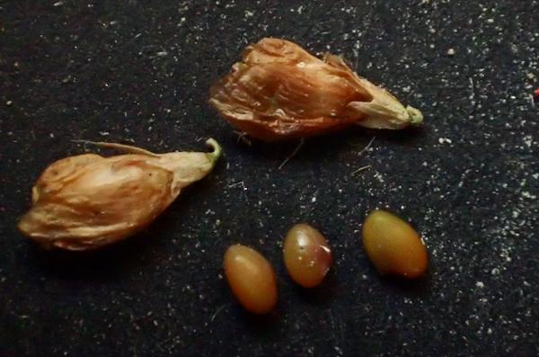 コメツブツメクサ 花殻と果実