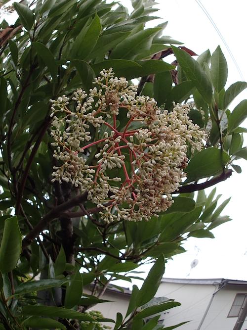 サンゴジュの花