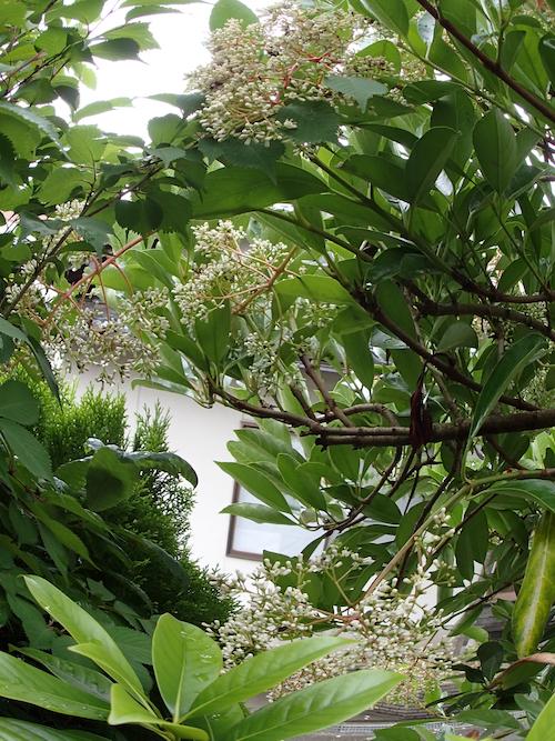サンゴジュの花1
