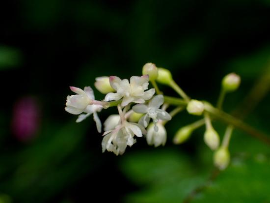 ジュズサンゴの花