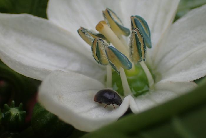 パプリカの花の甲虫