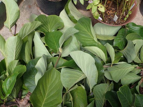 木蓮の葉1