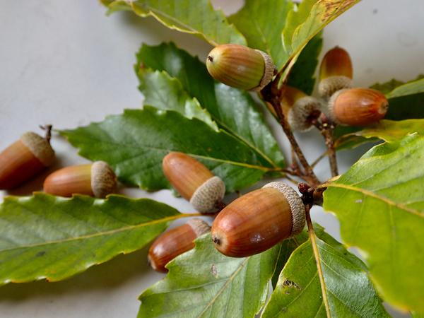 ナラガシワの果実