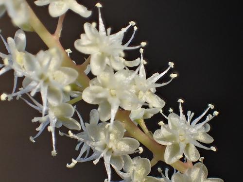 雲南百薬の花1