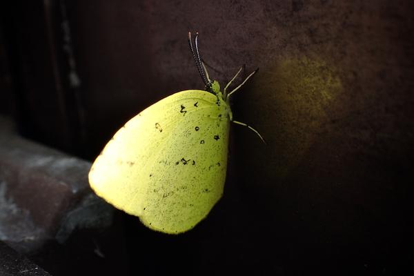 キタキチョウ羽化2