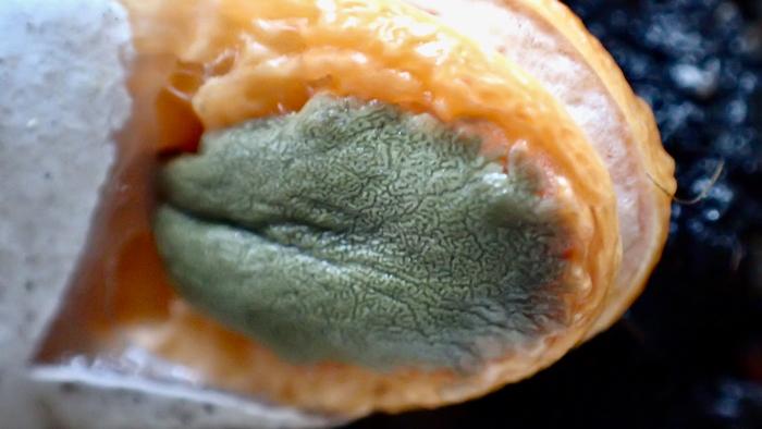 カニノツメ グレバ