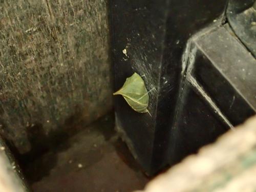 アオスジアゲハ蛹9