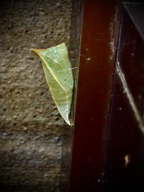アオスジアゲハ蛹4