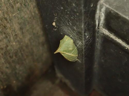 アオスジアゲハ蛹10