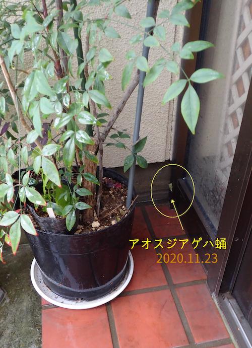 アオスジアゲハ蛹2