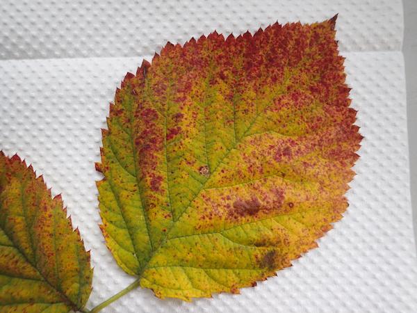 ブラックベリー紅葉