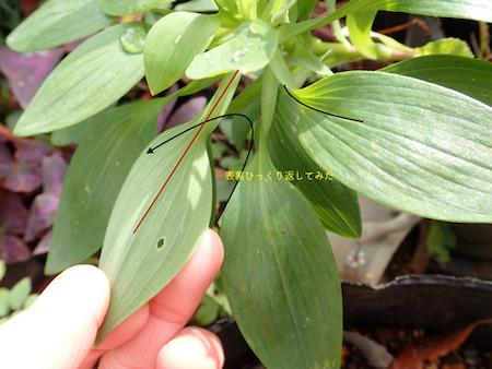 アルストロメリアの葉3