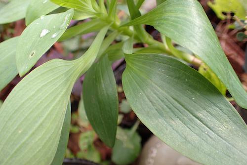 アルストロメリアの葉