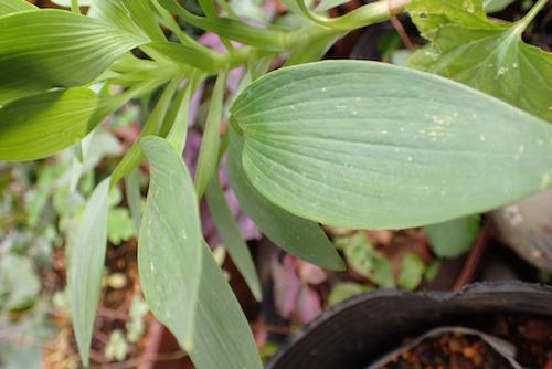 アルストロメリアの葉1
