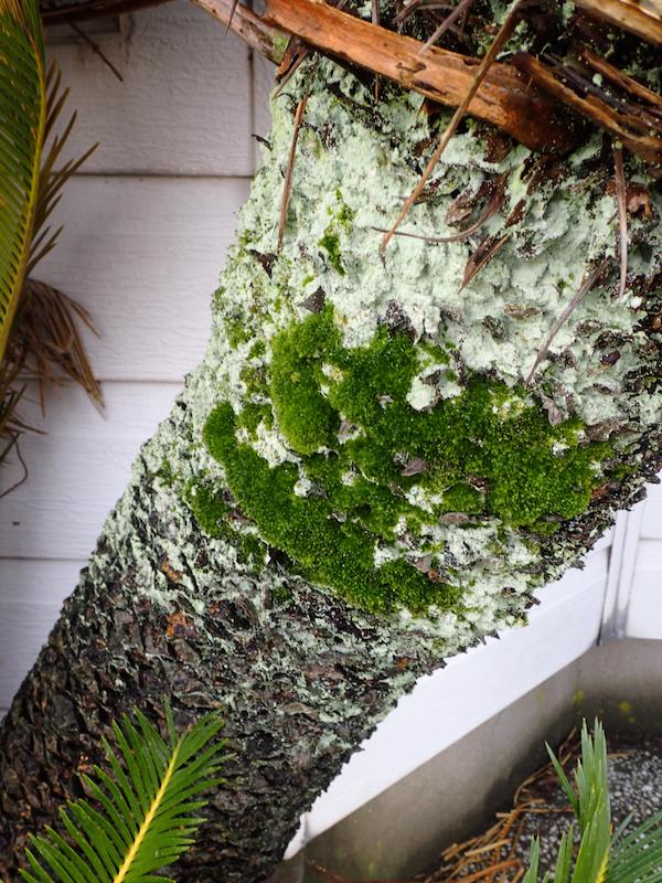 ソテツの蘚苔類