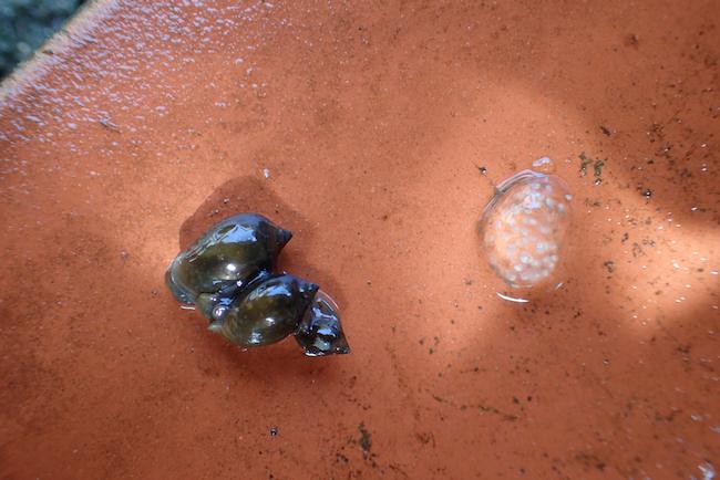 サカマキガイと卵塊
