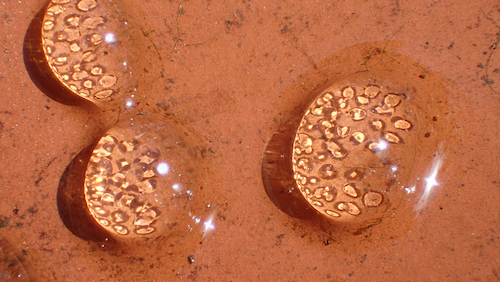 サカマキガイの卵嚢2