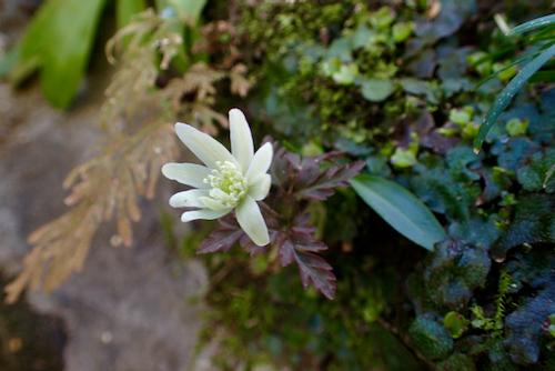 キクザキイチゲ花
