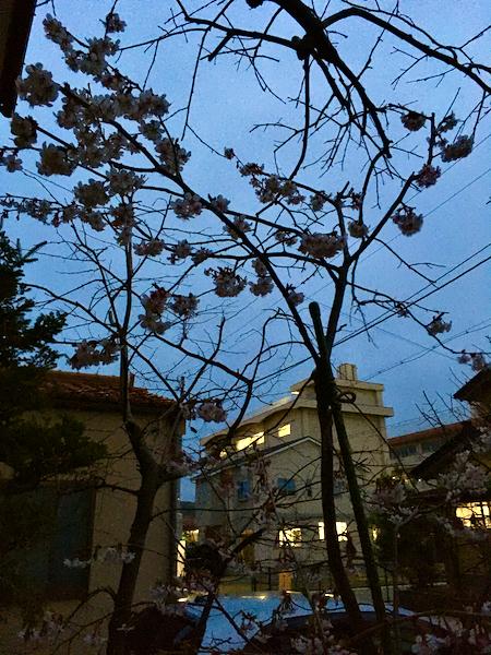 夜桜キンキマメザクラ