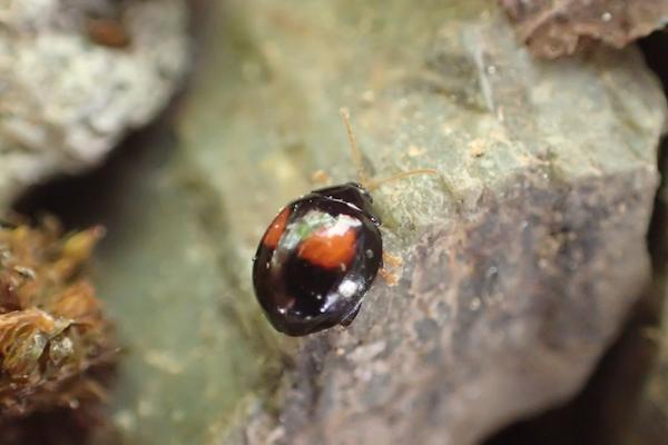 ヘリグロテントウノミハムシ