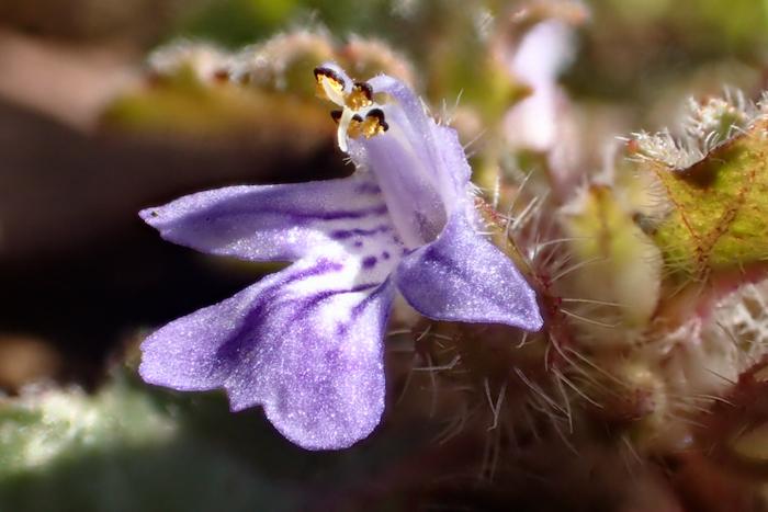 キランソウの花