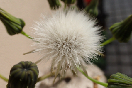 ノゲシ綿毛