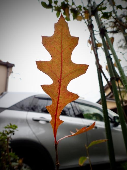 ピンオークの葉