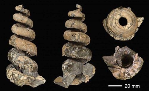 アンモナイト「エゾセラス・エレガンス」の化石(三笠市立博物館提供)