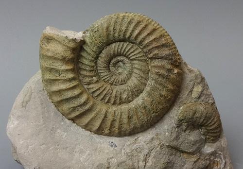 アンモナイト化石