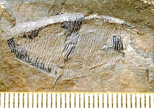 嚢頭類_化石